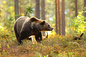 Brown bear in a forest looking at side