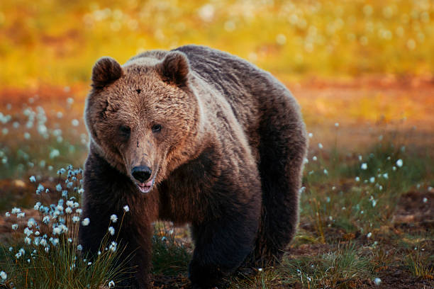 Brown Bear In Forest, Finland Wall Art