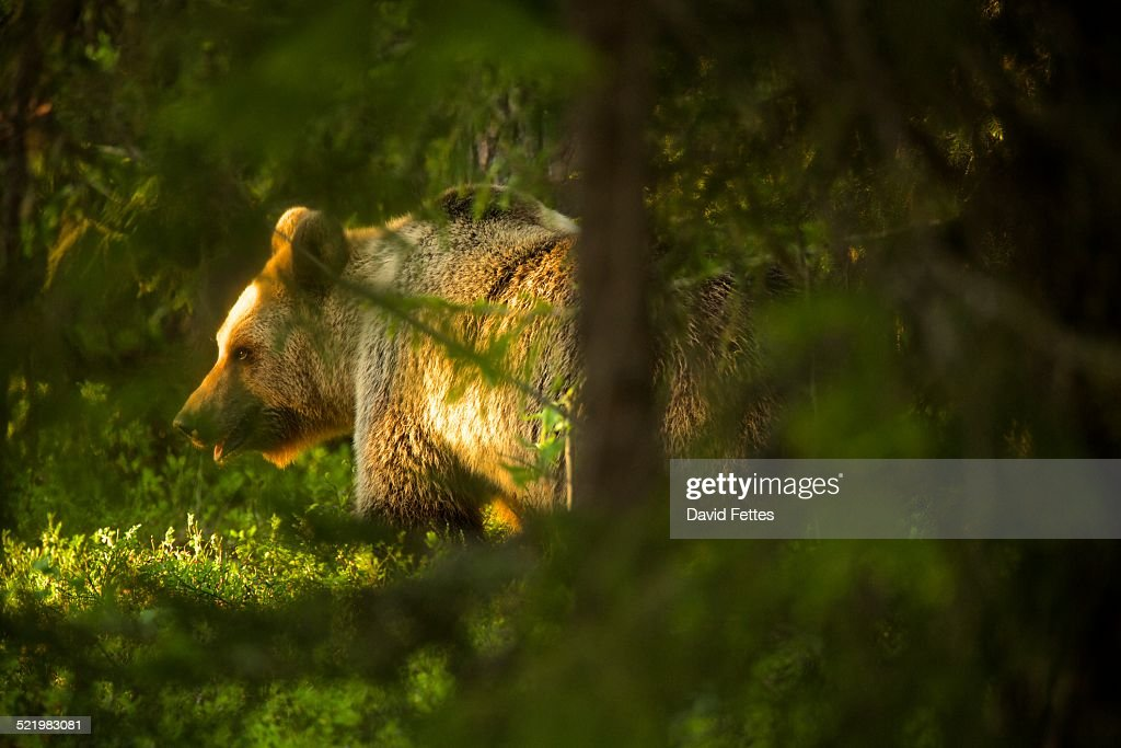 Brown bear (Ursus arctos) in Taiga Forest, Finland : Stock Photo