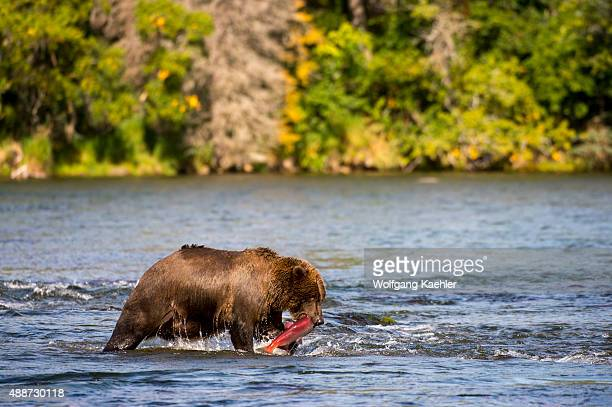 Brown bear is fishing for salmon at Brooks Lake in Katmai National Park and Preserve Alaska USA