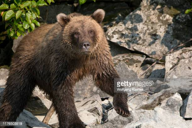 Brown bear is looking for salmon along the shore of Lake Crescent in Lake Clark National Park and Preserve, Alaska, USA.