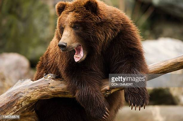 A brown bear is pictured on December 21 2011 at the Bronx Zoo in New York AFP PHOTO/DON EMMERT