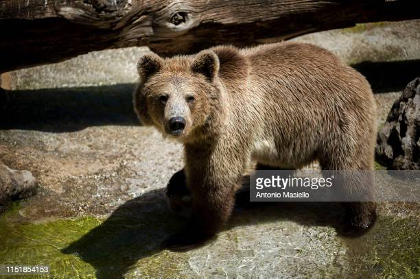 """Brown Bear is seen at the """"Bioparco"""" during a heat wave, on June 25, 2019 in Rome, Italy."""