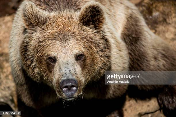 Brown Bear is seen at the Bioparco during a heat wave on June 25 2019 in Rome Italy