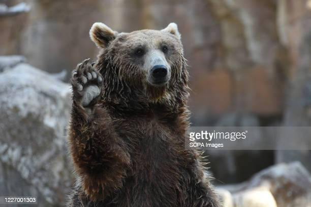 Brown bear is seen in his enclosure at Madrid zoo. The brown bear is the largest terrestrial carnivore. In wildlife it is distributed across northern...