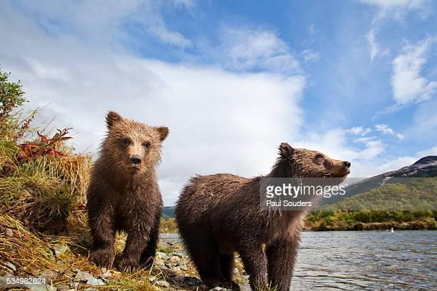 brown bear, katmai national park, alaska - bear cub stock pictures, royalty-free photos & images