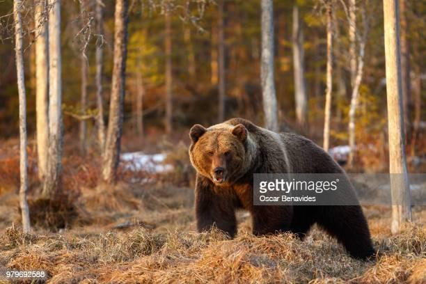 brown bear (ursus arctos), kuhmo, finland - beer stockfoto's en -beelden