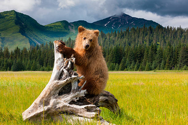 Brown bear, Lake Clark National Park, Alaska