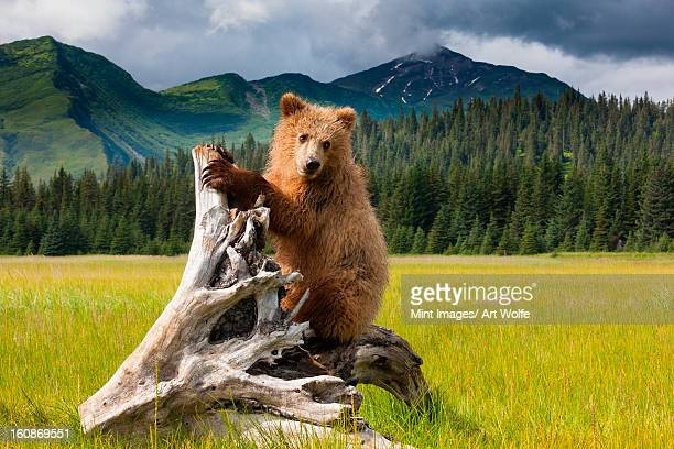 Brown bear, Lake Clark National Park, Alaska
