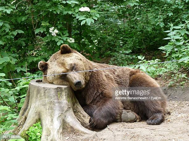 Brown Bear Leaning On Tree Stump