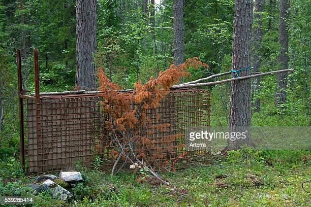 Brown bear live trap for wildlife management in the taiga Karelien Finland Scandinavia