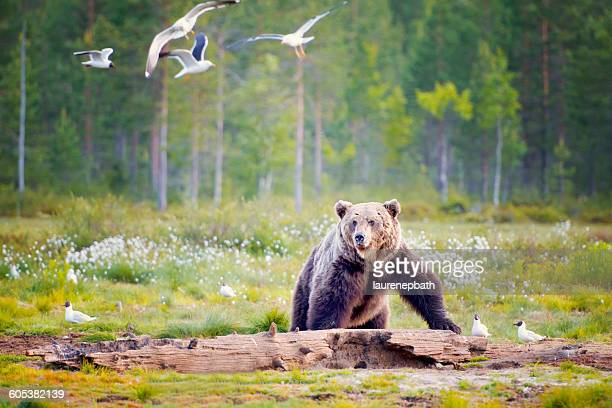 Brown bear looking at seagulls in forest, Finland