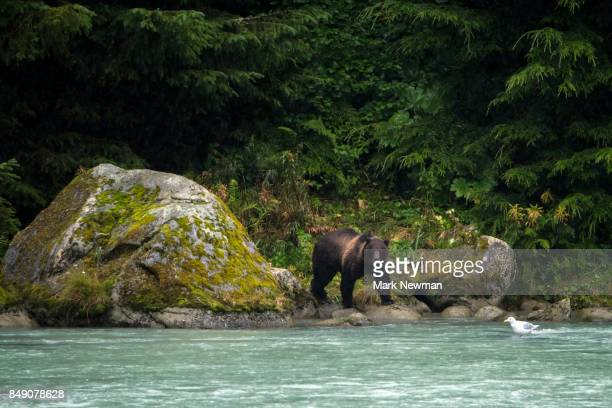 Brown Bear looking for salmon in a river