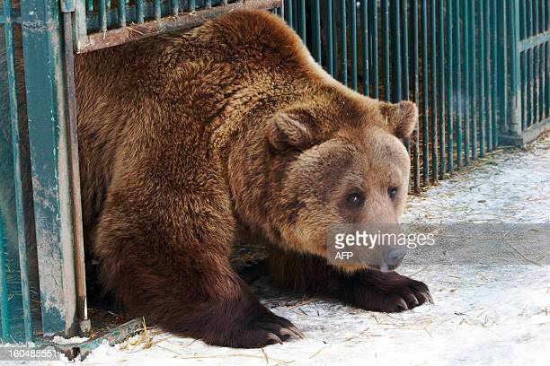 A brown bear looks out from a cage on February 1 in the biggest rehabilitation center for bears in Europe in the Carpathian National Nature Park...