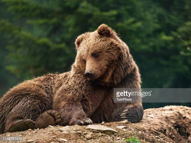 a brown bear lying on a ground in fir forest - bear stock pictures, royalty-free photos & images