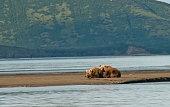 brown bear mother cub katmai national