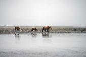 brown bear mother cubs katmai national