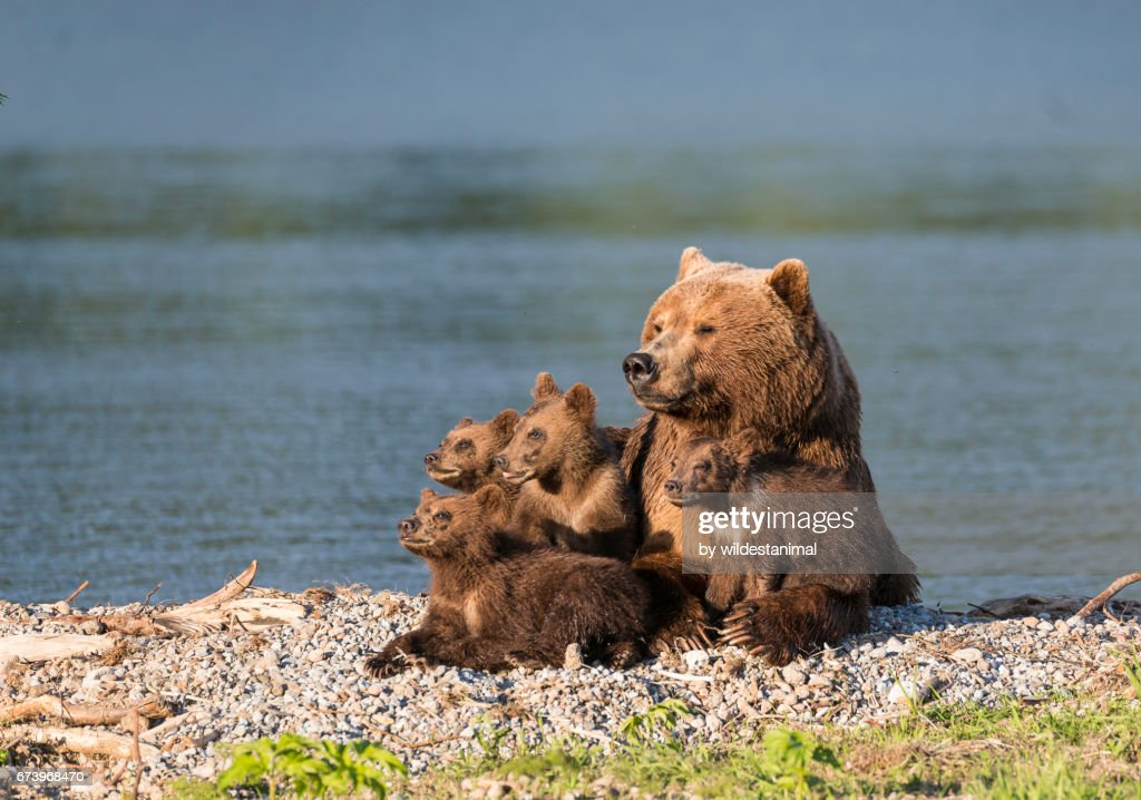 Brown bear mother and her four cubs. : Stock Photo