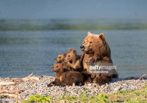 Brown bear mother and her four cubs.
