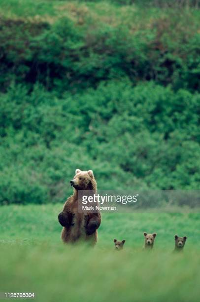 brown bear mother and young animals - brown bear stock pictures, royalty-free photos & images