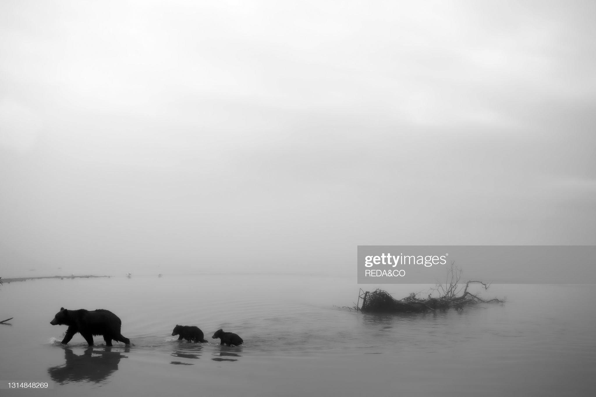 Brown bear (Ursus arctos beringianus) mother bear and her cubs walk on the beach lost in the fog in Kurile Lake. Kamchatka peninsula. Russian Federation. Eurasia : Foto di attualità