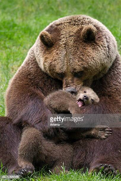 Brown bear mother cuddling cub in grassland