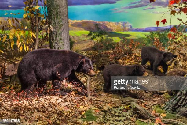 Brown Bear native to Pennsylvania