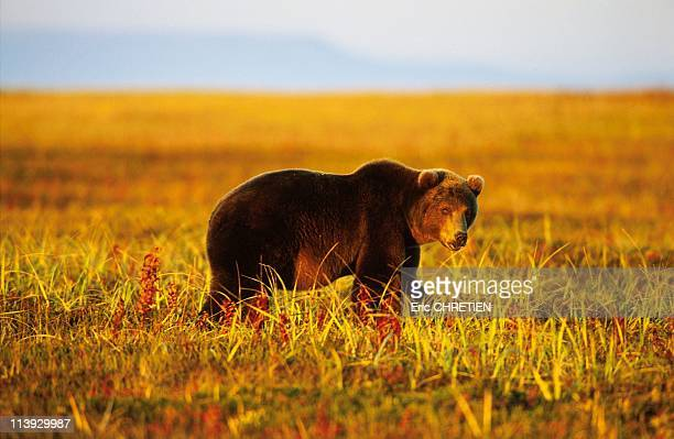Brown Bear Of Kamchatka In Russia In 1999Brown bear in the tundra intrigued by VitalyThe bears have facial attitudes and expressions found in...