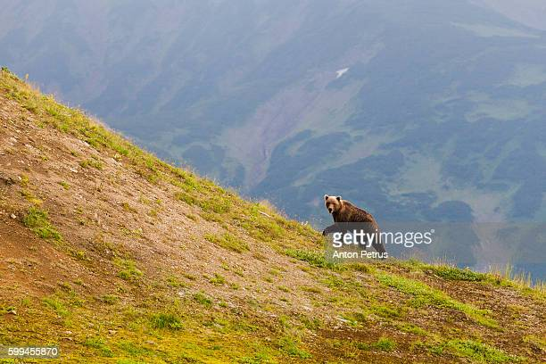 Brown Bear (Ursus arctos) on the lookout, Kamchatka, Russia
