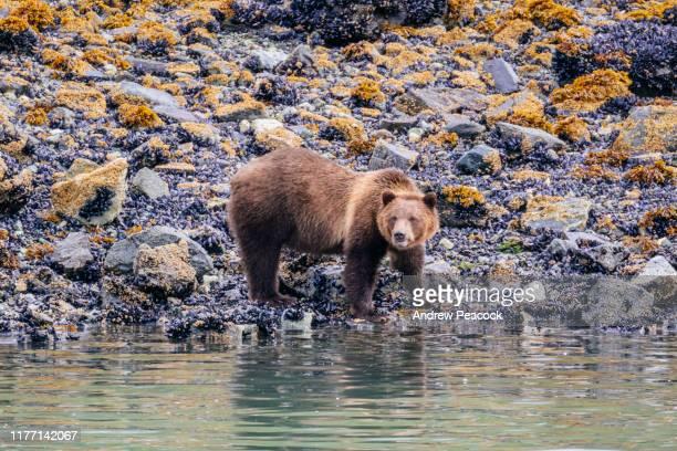 urso de brown (arctos do ursus) na linha costeira do parque nacional do louro da geleira - animal selvagem - fotografias e filmes do acervo
