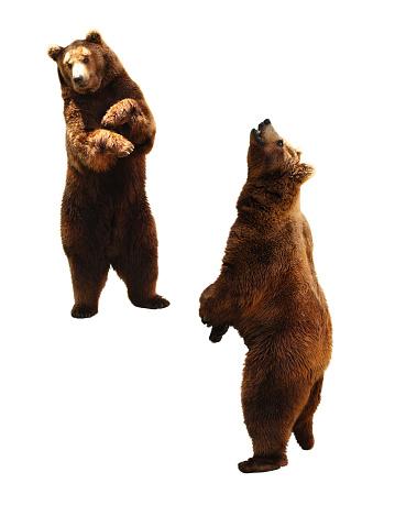 Brown bear on white. 583994154