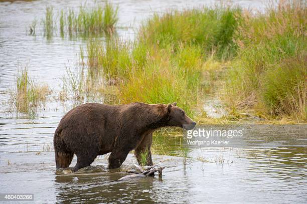 Brown bear or grizzly looking for salmon at lower Brooks River in Katmai National Park and Preserve Alaska USA