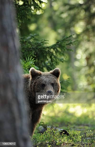 Brown bear peeking from behind a tree in a sunlit wild area