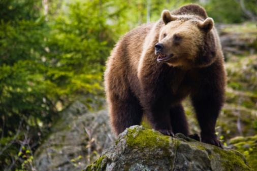 Brown bear 104278480
