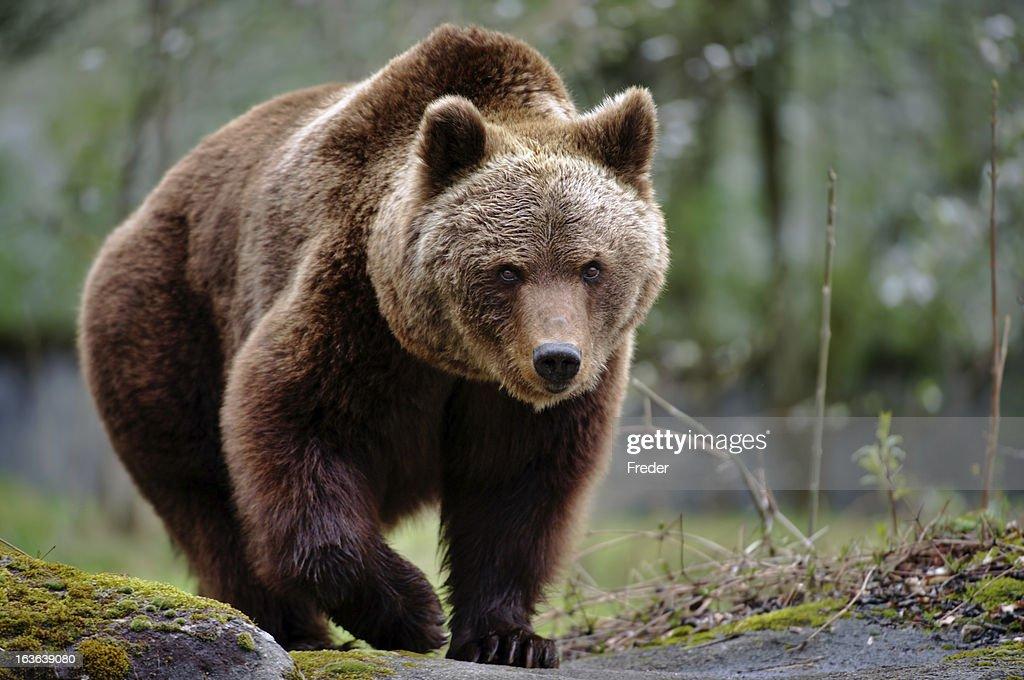 brown bear : Stock Photo