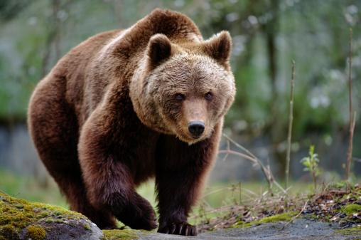 brown bear 163639080
