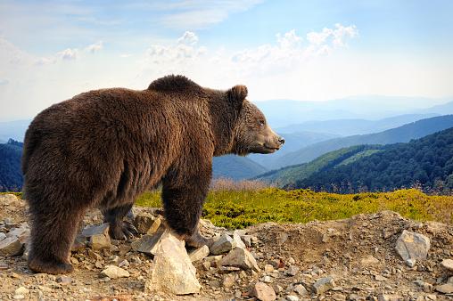 Brown bear 494437142