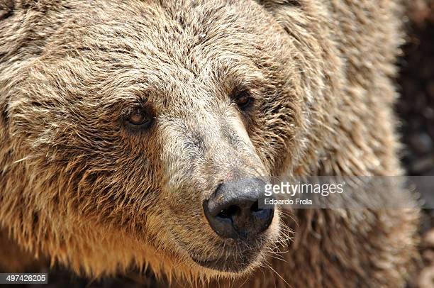 brown bear - orso bruno foto e immagini stock