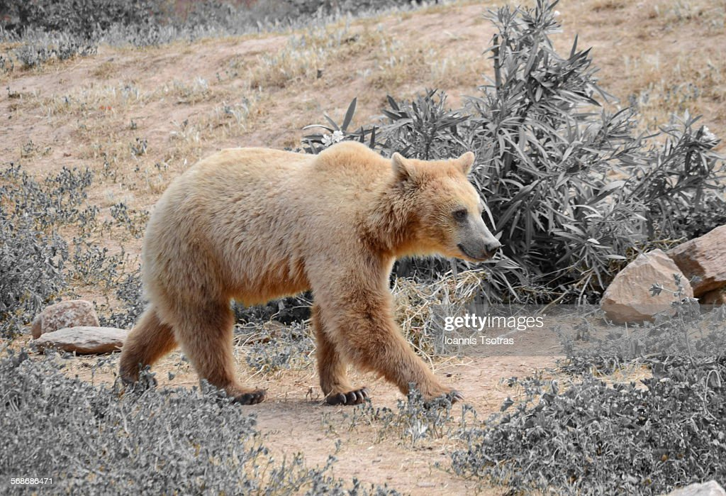 Brown bear : Stock Photo