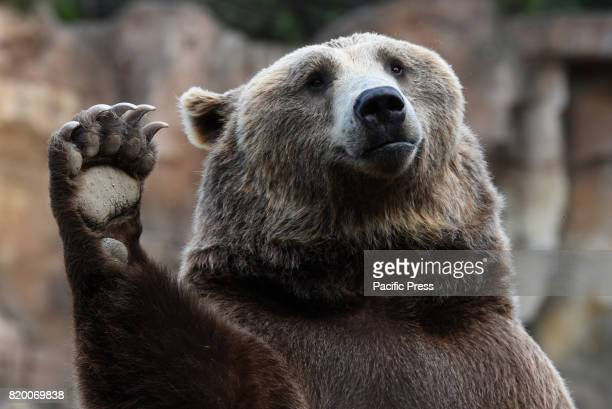 Brown bear pictured waiting for food at Madrid zoo