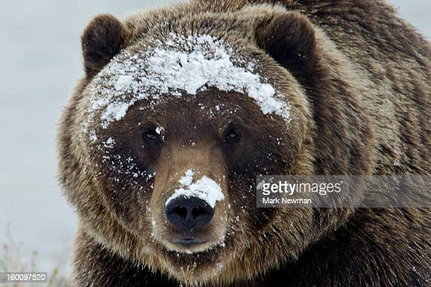 Brown bear portrait in snow
