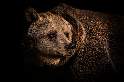Brown bear portrait 926738156