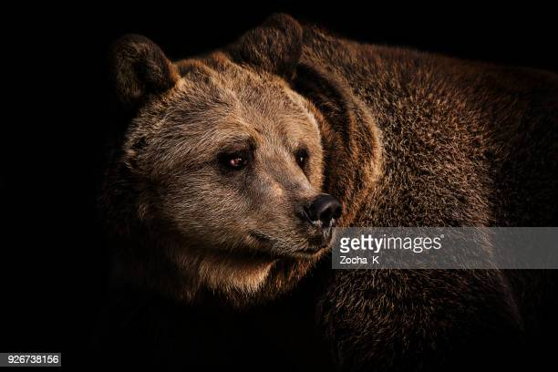brown bear portrait - animal themes stock pictures, royalty-free photos & images