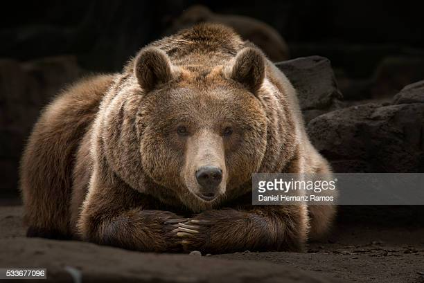 Brown bear relaxing