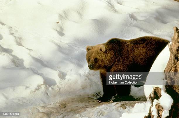 Brown Bear Riding Mountain National Park Canada