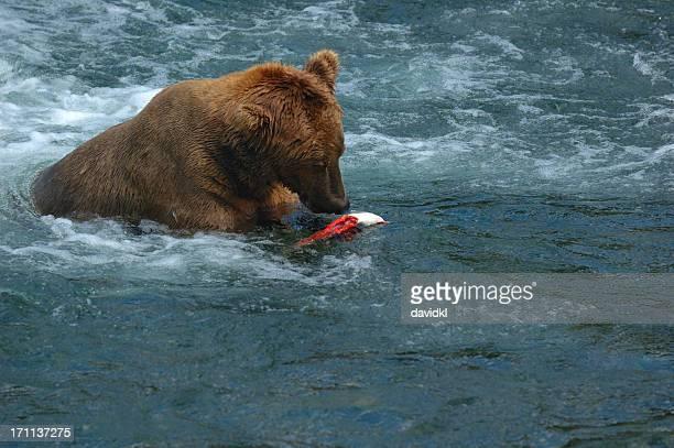 Ours brun déchirures écartées saumon assis dans la rivière