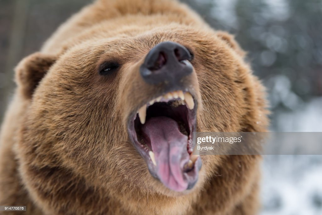 Brown bear roaring in forest : Stock Photo