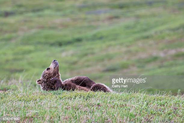 Brown bear scratches while lying in the tundra, Denali National Park, Interior Alaska, Spring