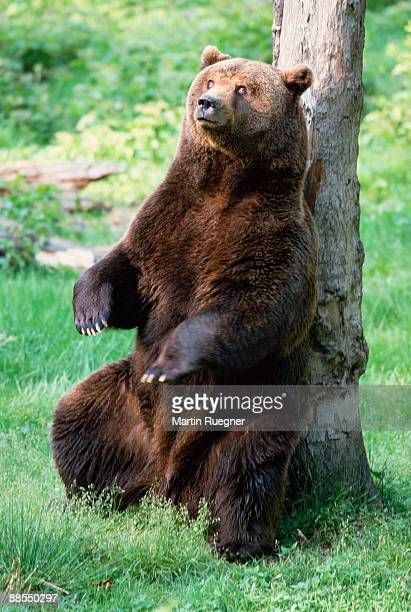 Brown bear scratching back on tree