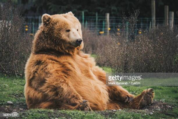 brown bear sitting on grass - ours brun photos et images de collection